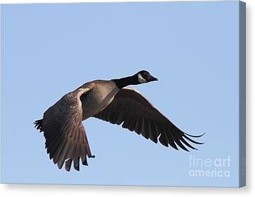 Canada Goose In Flight 7d21956 Canvas Print by Wingsdomain Art and Photography