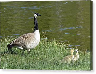 Canada Goose Mom With Goslings Canvas Print by Bruce Gourley