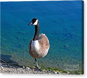 Canada Goose On One Leg Canvas Print by Susan Wiedmann