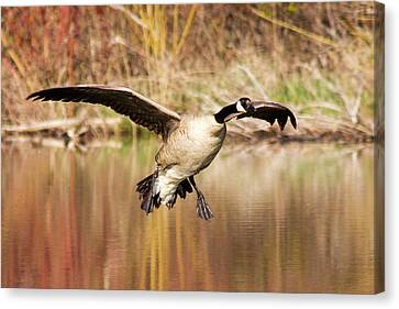 Canada Goose Prepares To Land In Small Canvas Print by Chuck Haney