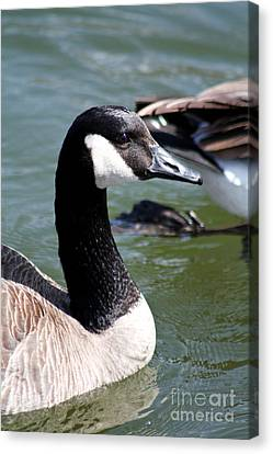 Canvas Print featuring the photograph Canada Goose Profile by Anita Oakley
