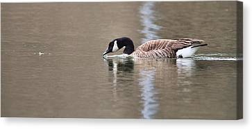Canada Goose Swimming Canvas Print by Dan Sproul