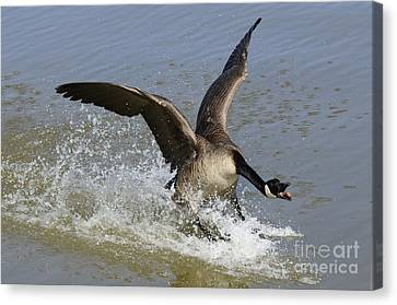 Canada Goose Touchdown Canvas Print by Bob Christopher