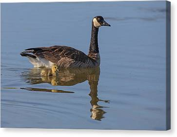 Canada Goose With Chick Canvas Print by Tom Norring