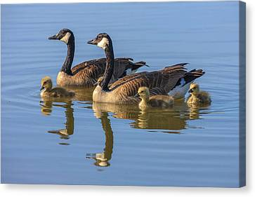 Canada Goose With Chicks Canvas Print by Tom Norring
