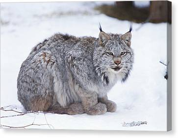 Canada Lynx Crouched On The Snowcovered Canvas Print