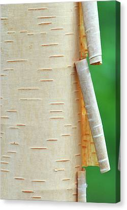 Canada, Quebec Peeling Bark On Paper Canvas Print by Jaynes Gallery