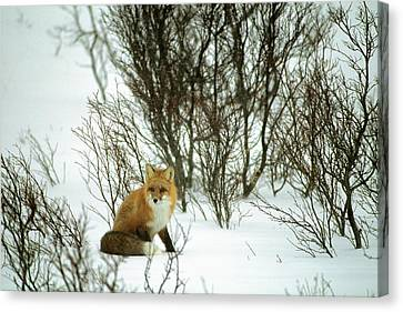 Gerry Canvas Print - Canada, Yukon, Red Fox, Winter, Snow by Gerry Reynolds