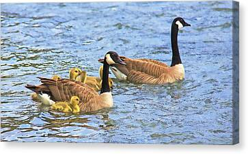 Canadian Geese And Goslings Blue Waters Canvas Print by Jennie Marie Schell