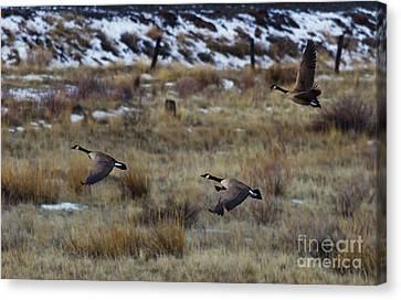 Canadian Geese In Flight Canvas Print by Mike  Dawson