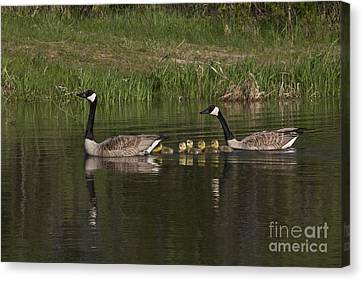 Canadian Geese Canvas Print by Linda Freshwaters Arndt