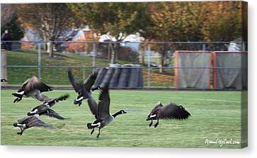 Canadian Geese Taking Flight Canvas Print by Robert Banach