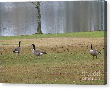 Canadian Geese Tourists Canvas Print