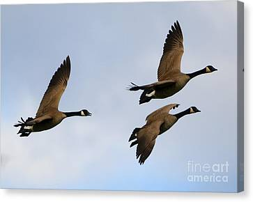 Canadian Geese Trio Canvas Print by Mike Dawson