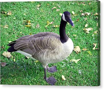 Canadian Goose Canvas Print by Aimee L Maher Photography and Art Visit ALMGallerydotcom