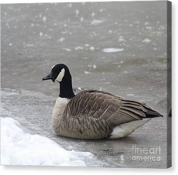 Canadian Goose In Winter Time In Manhassett Park Canvas Print by John Telfer