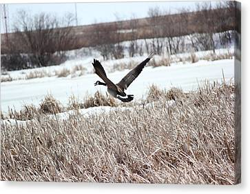 Canvas Print featuring the photograph Canadian Goose by Ryan Crouse