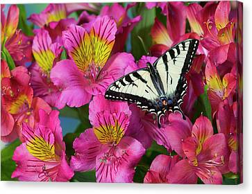 Canadian Tiger Swallowtail Butterfly Canvas Print
