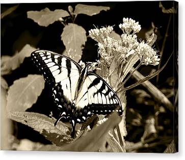 Canadian Tiger Swallowtail In Sepia Canvas Print