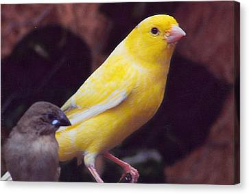 Canary And Finch Canvas Print by Barb Baker