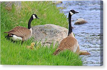 Canda Geese And Goslings Canvas Print by Jennie Marie Schell
