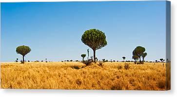 Candelabra Trees Canvas Print by Adam Romanowicz