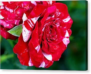 Candy Cane Rose Flower Canvas Print by Johnson Moya