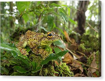 Canelos Treefrog Canvas Print by Dr Morley Read