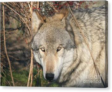 Canis Lupus  Canvas Print by Neal Eslinger