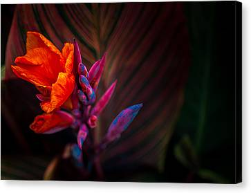 Canna Lilly At Freimann Square Canvas Print by Gene Sherrill