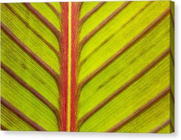 Canna Lily Red Stripe  Canvas Print by Marina Kojukhova