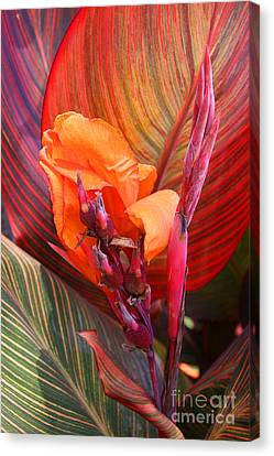 Canna Lily's New Growth Canvas Print by Kenny Bosak