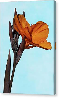 Canna X Generalis 'wyoming' Canvas Print by Science Photo Library