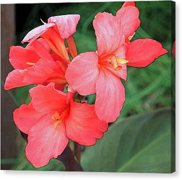 Cannas Amarillo Canvas Print by Suzanne Gaff