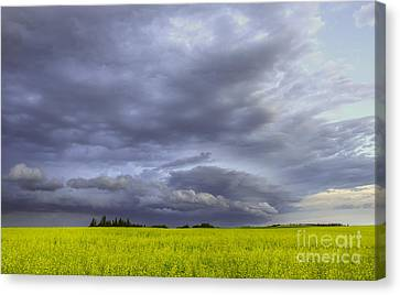Canola And Storm Canvas Print by Dan Jurak
