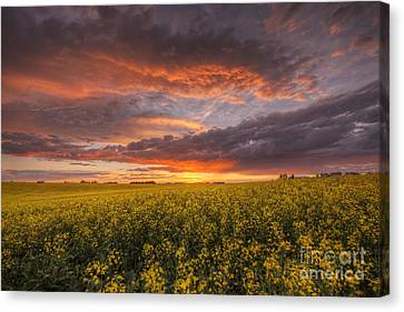 Canola At Sunset Canvas Print