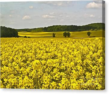 Canola Field Canvas Print by Heiko Koehrer-Wagner