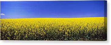 Canola Field In Bloom, Idaho, Usa Canvas Print by Panoramic Images
