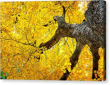 Canopy Of Autumn Leaves Canvas Print by Tom Mc Nemar