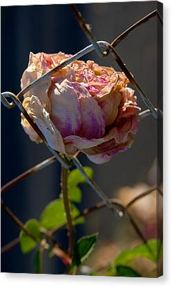 Canvas Print featuring the photograph Can't Fence Me In - Faded Rose Art Print by Jane Eleanor Nicholas