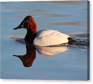 Canvasback Drake Reflection Canvas Print