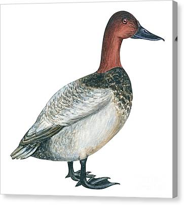 Canvasback Duck  Canvas Print