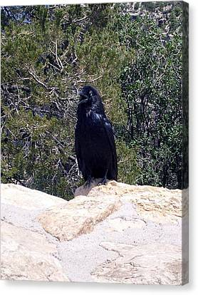 Canvas Print featuring the photograph Canyon Raven by Philomena Zito