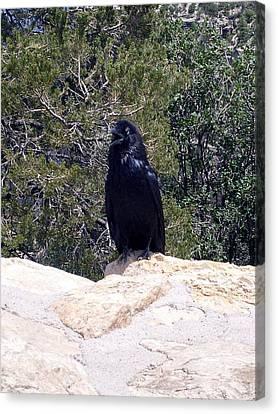 Canyon Raven Canvas Print