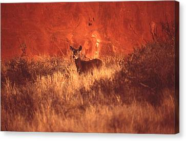 Canyonland Mule Deer Canvas Print by T C Brown
