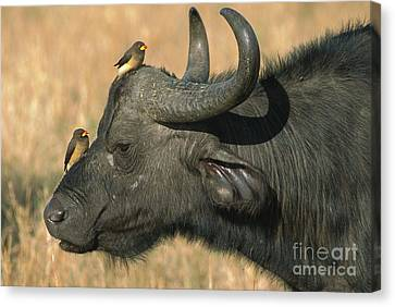 Cape Buffalo And Oxpeckers Canvas Print by Yva Momatiuk John Eastcott