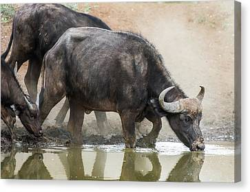 Cape Buffalo Cow Drinking Canvas Print by Peter Chadwick