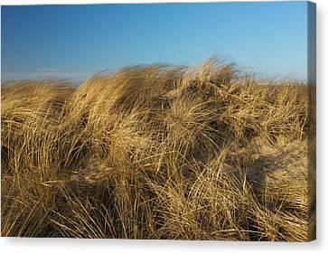 Cape Cod Dune Grass Canvas Print by Allan Morrison