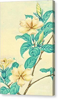 Cape Jasmine 1870 Canvas Print