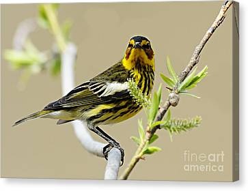 Cape May Warbler Canvas Print by Larry Ricker